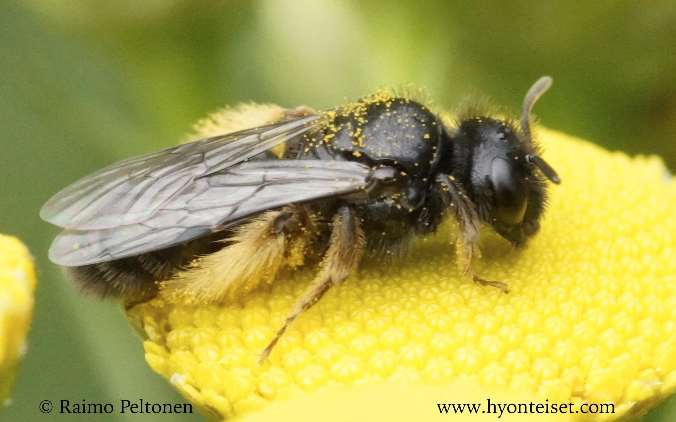 Panurgus calcaratus-pikkupiehtarimehiläinen, naaras (det. Juho Paukkunen)