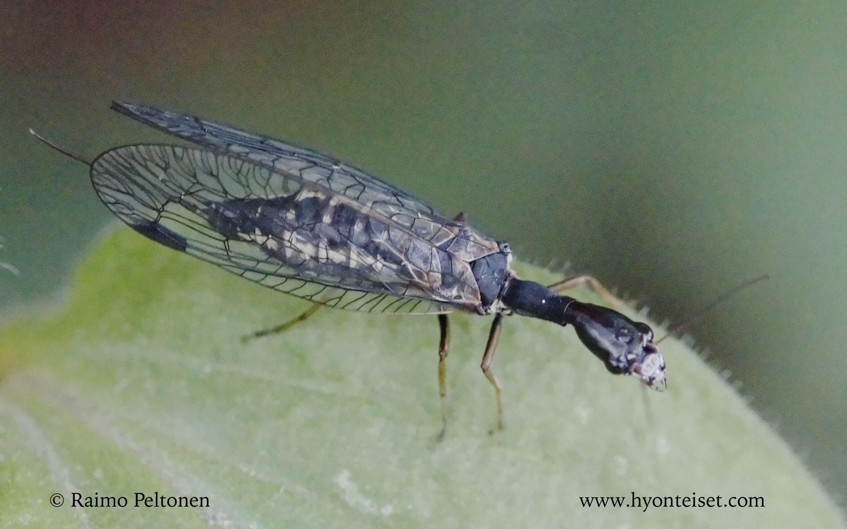 Phaeostigma notata-närekäärmekorento