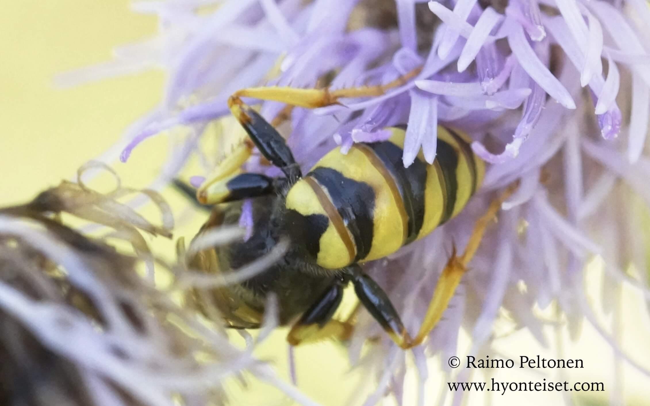 Philanthus triangulum-mehiläishukka, naaras (det. Juho Paukkunen)