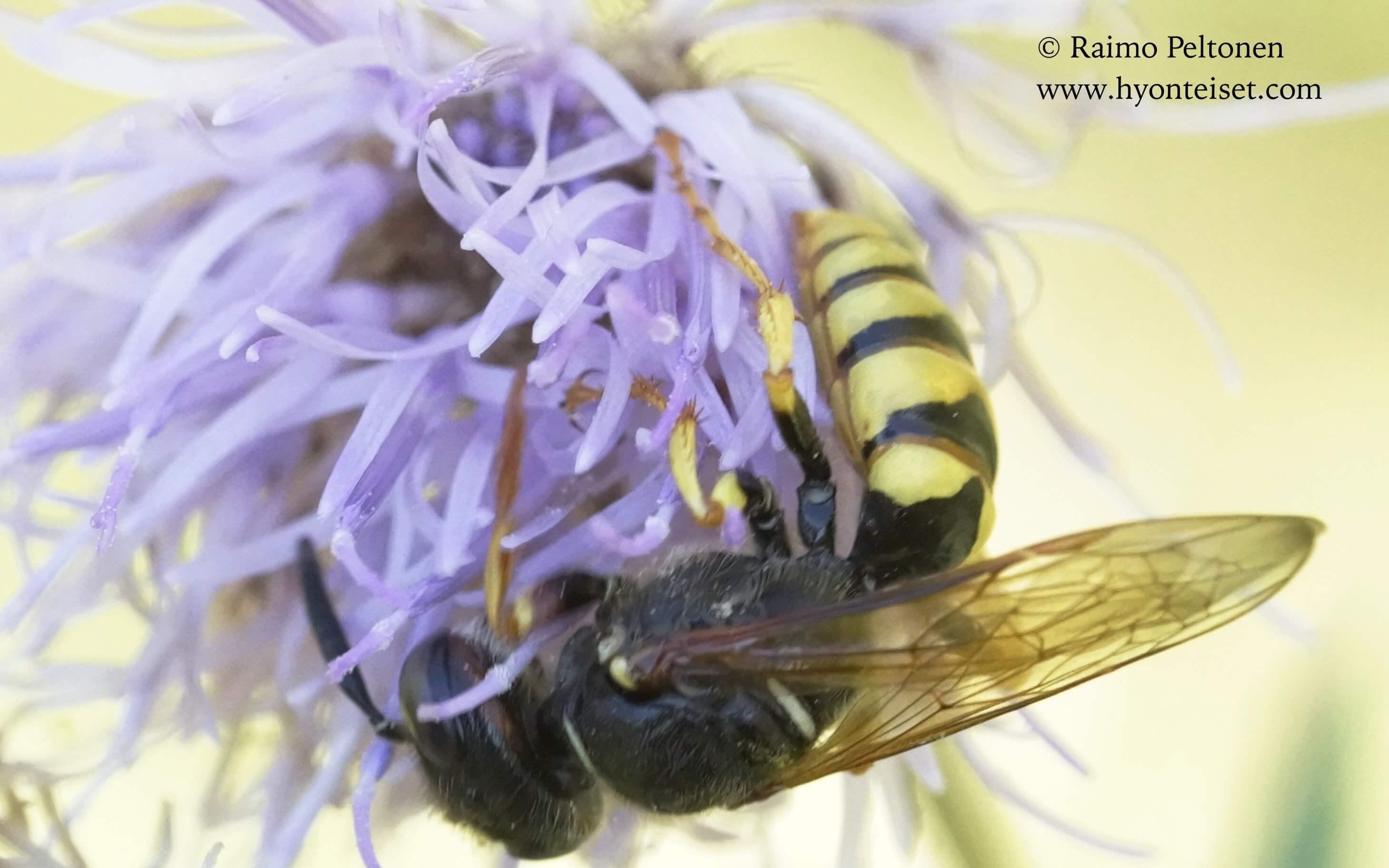 Philanthus trianguum-mehiläishukka, naaras (det. Juho Paukkonen)