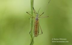 Phylidorea abdominalis