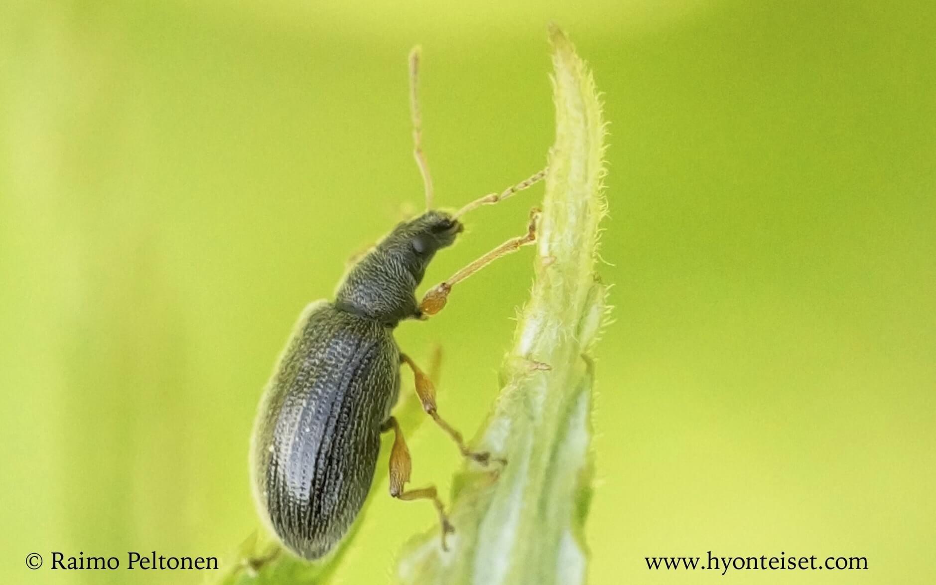 Phyllobius oblongus (det. Juha Salokannel)