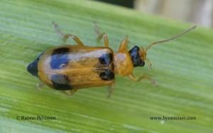 Phyllobrotica quadrimaculata