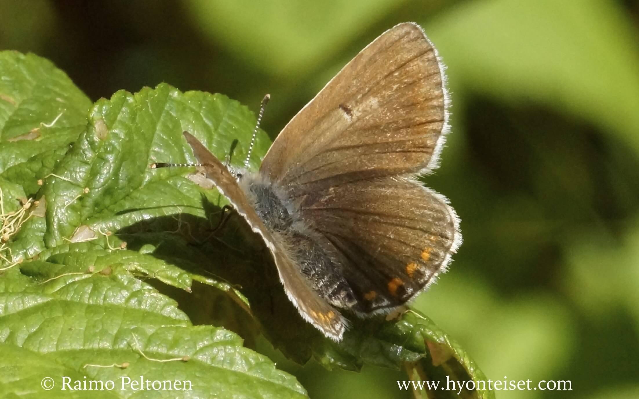 Plebeius artaxerxes-lehtosinisiipi