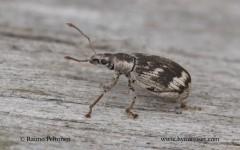Polydrusus undatus 2