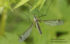 Tipula sp. sg. Yamatotipula