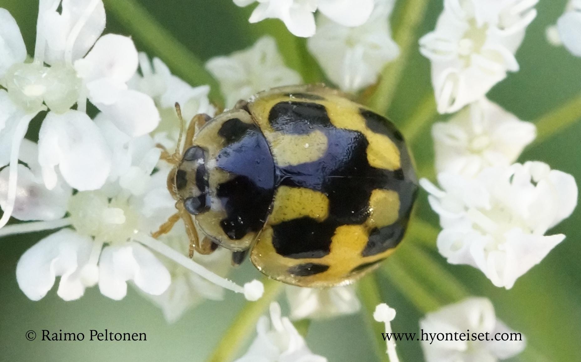 Propylea quatuordecimpunctata-ruutupirkko