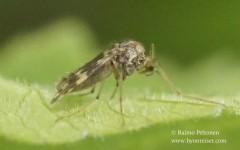 Psectrotanypus varius 2
