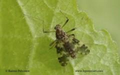 Psectrotanypus varius 1