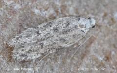 Psoricoptera speciosella