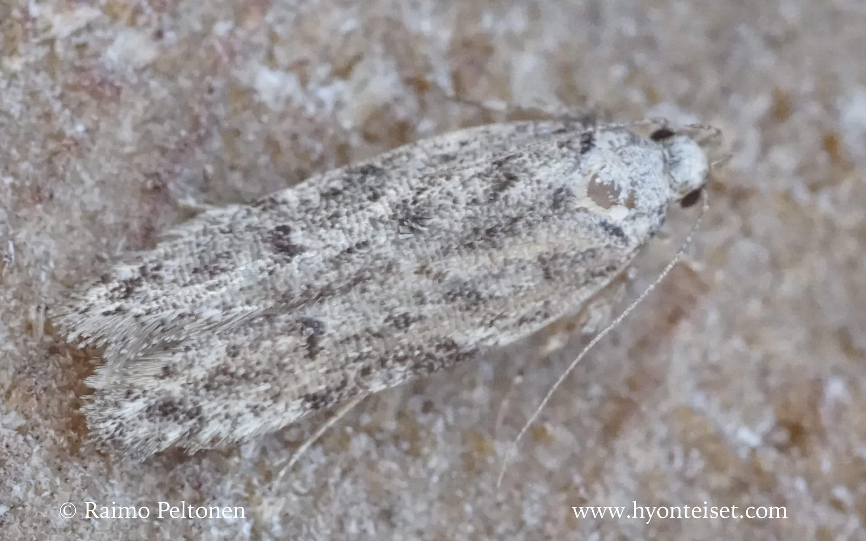 Psoricoptera speciosella (det. Harri Jalava)