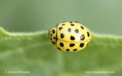 Psyllobora vigintoduopunctata 1