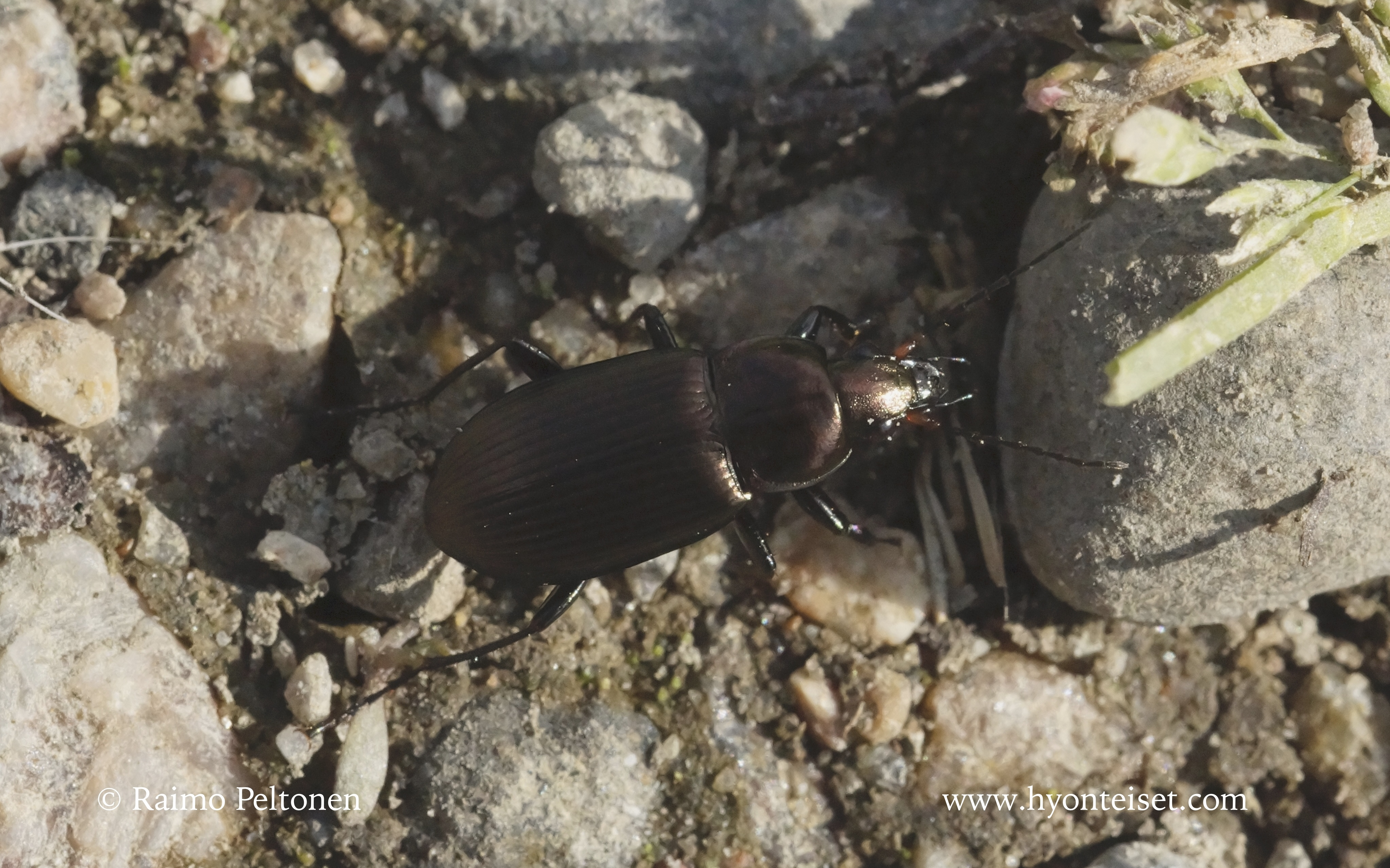 Pterostichus niger-isosysikiitäjäinen
