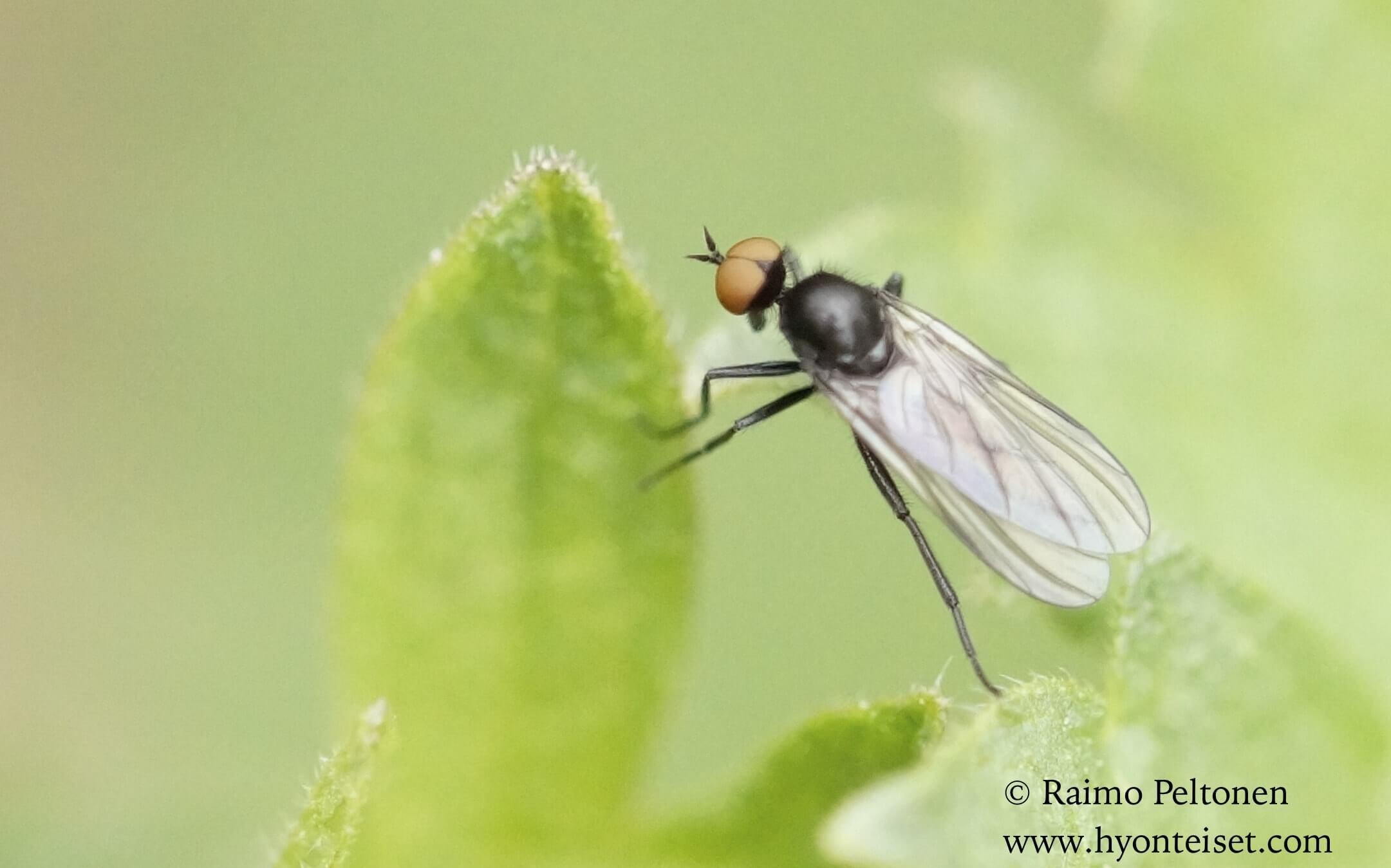 Rhampomyia cf. umbripennis