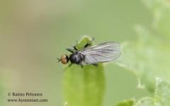 Rhampomyia cf. umbripennis 1