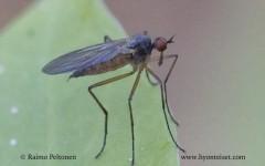 Rhamphomyia culicina 2