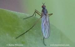 Rhamphomyia culicina 1