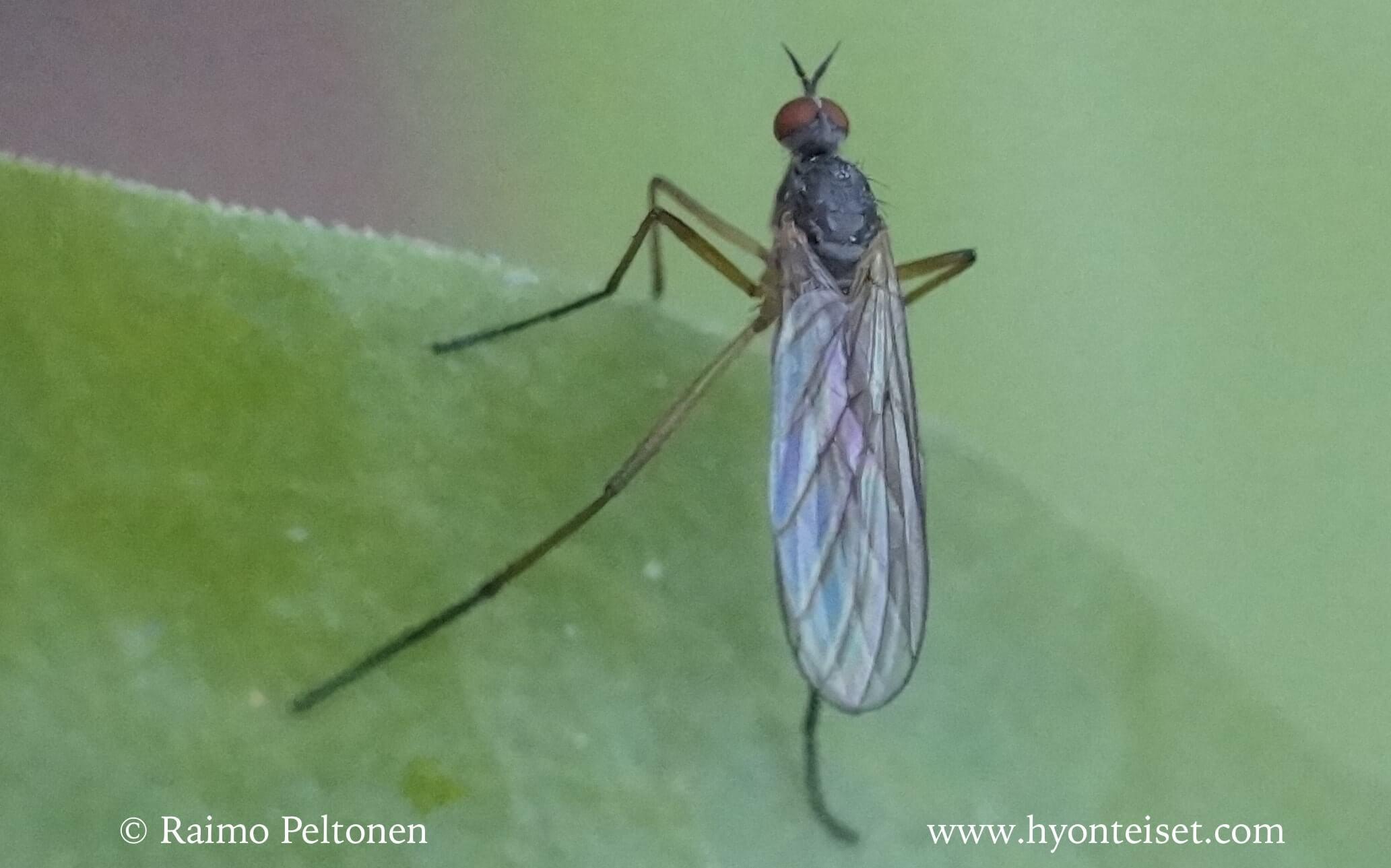 Rhamphomyia culicina (det. Antti Haarto)