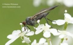 Rhamphomyia marginata 2