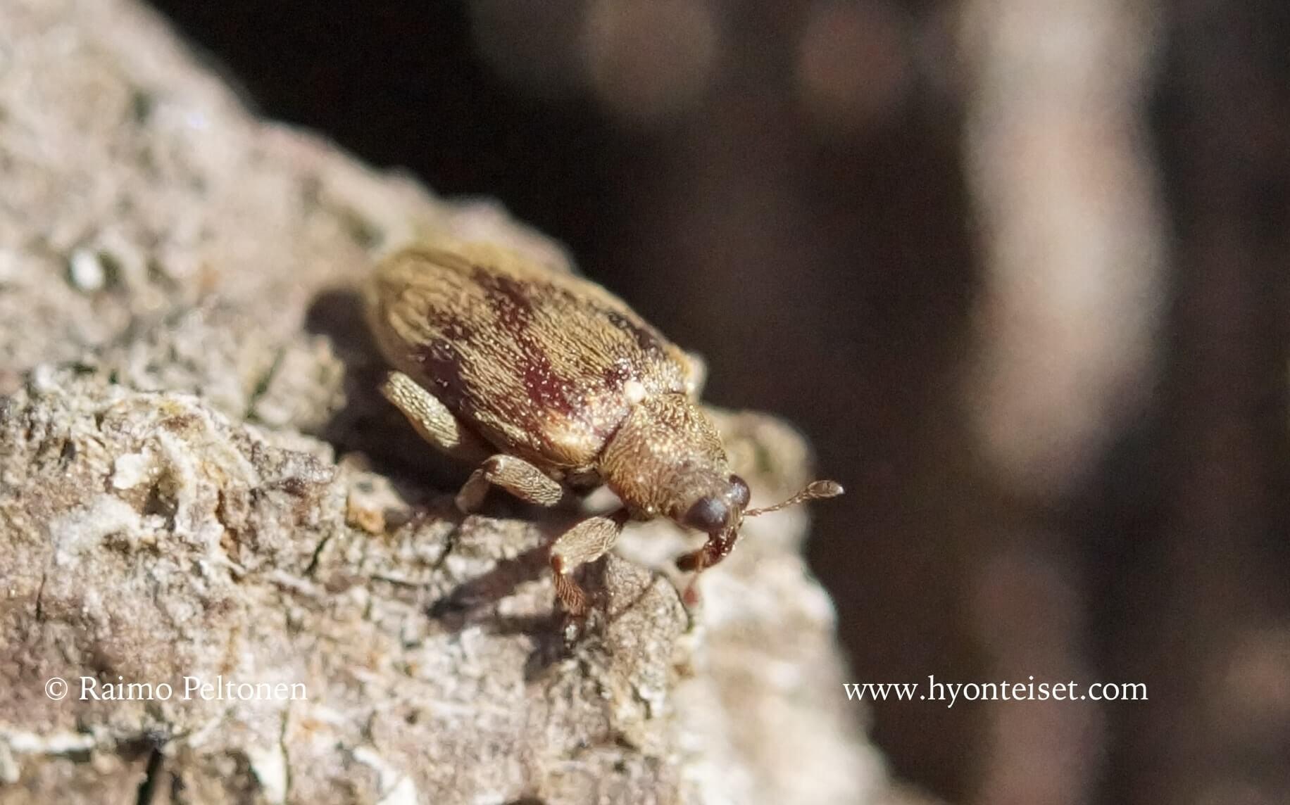 Rhynchaenus testaceus-lepänhyppykärsäkäs (det. Tapio Kujala)