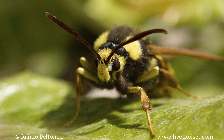 Sesia apiformis-haavanlasisiipi