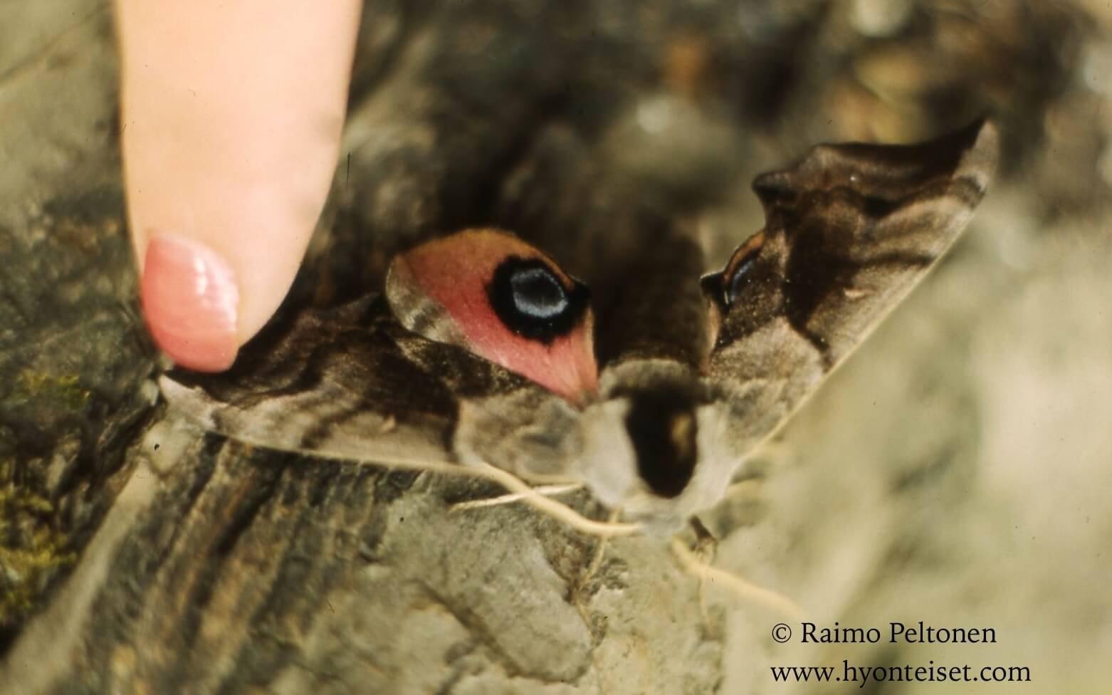 Smerinthus ocellatus-silmäkiitäjä