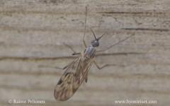 Sylvicola cinctus/fenestralis