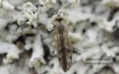 Sylvicola stackelbergi/fuscatoides