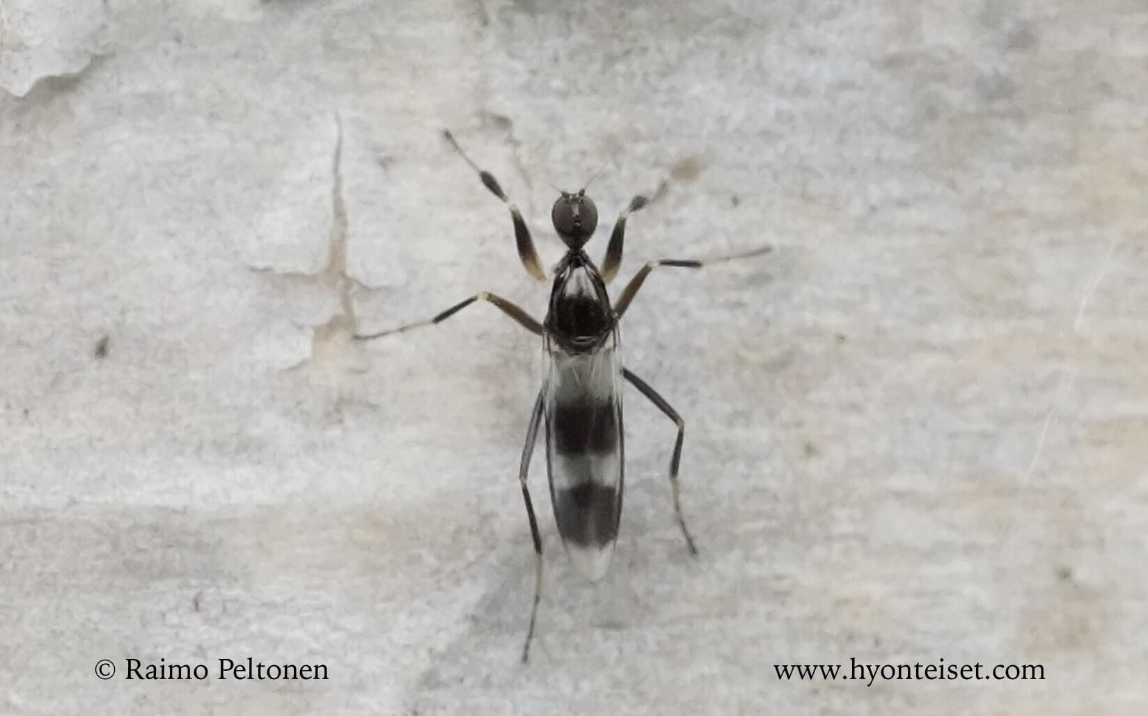 Tachydromia unbrarum (det. Kaj Winqvist)