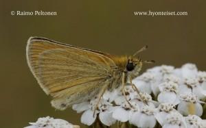 Thymelicus lineola 2