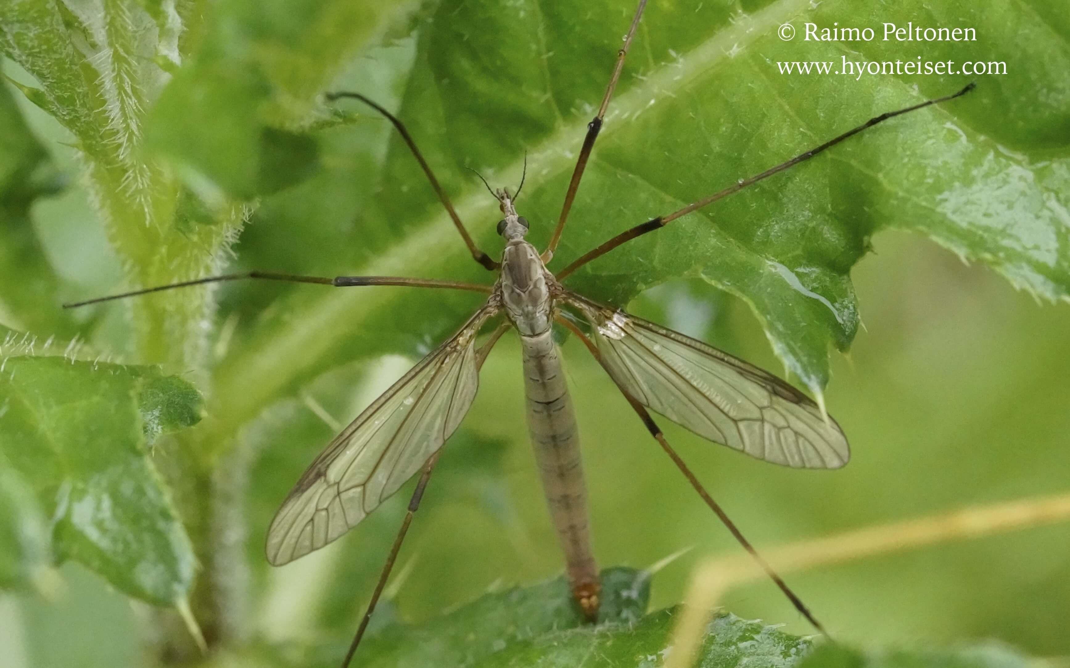 Tipula paludosa-pihakaalikirsikäs (det. Esko Viitanen)