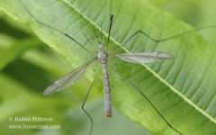 Tipula cf. pruinosa