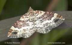 Xanthorhoe spadicearia
