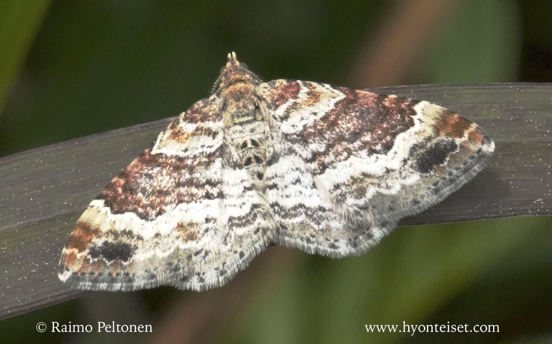 Xanthorhoe spadicearia-kirjokenttämittari
