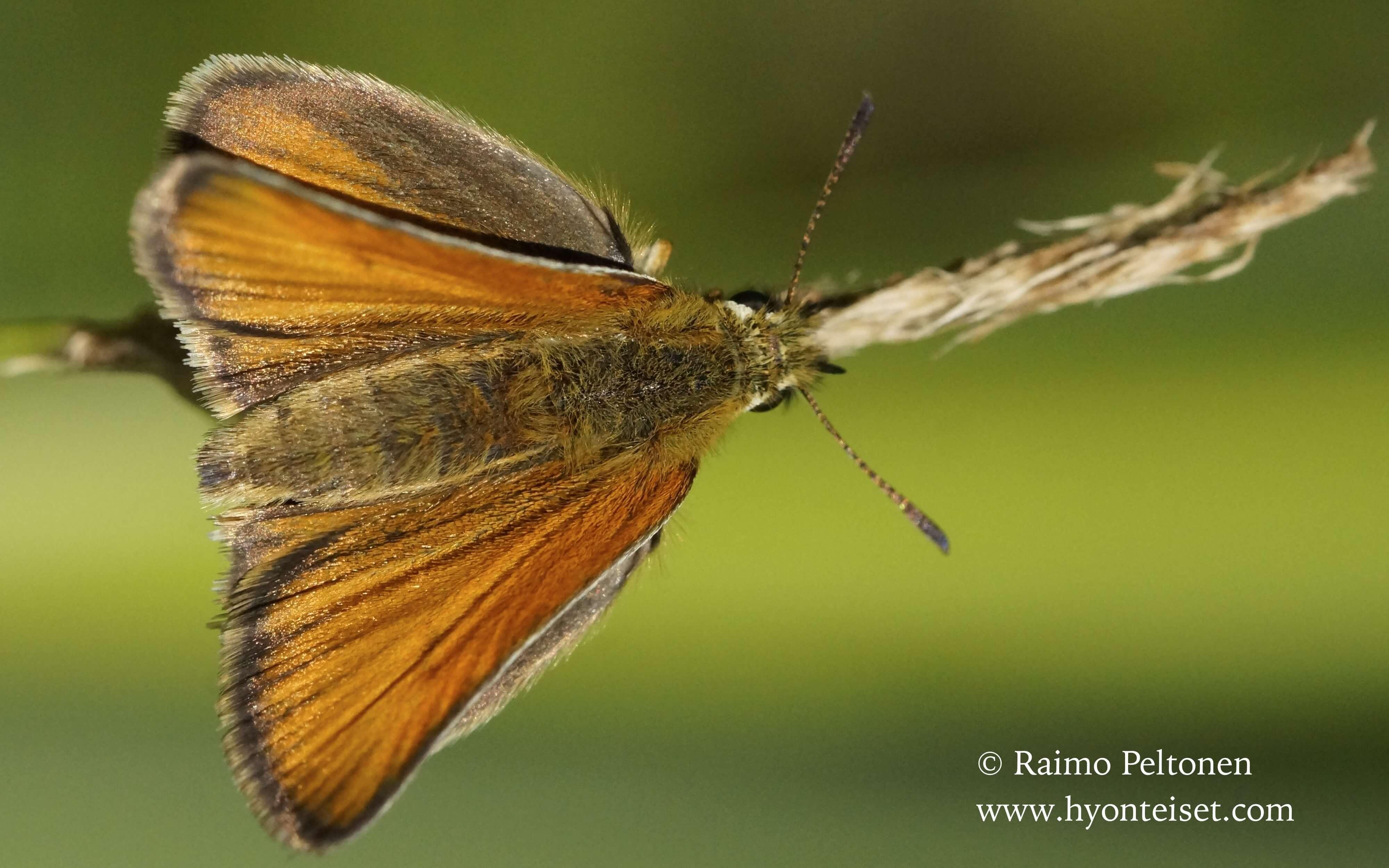 Thymelicus lineola-lauhahiipijä