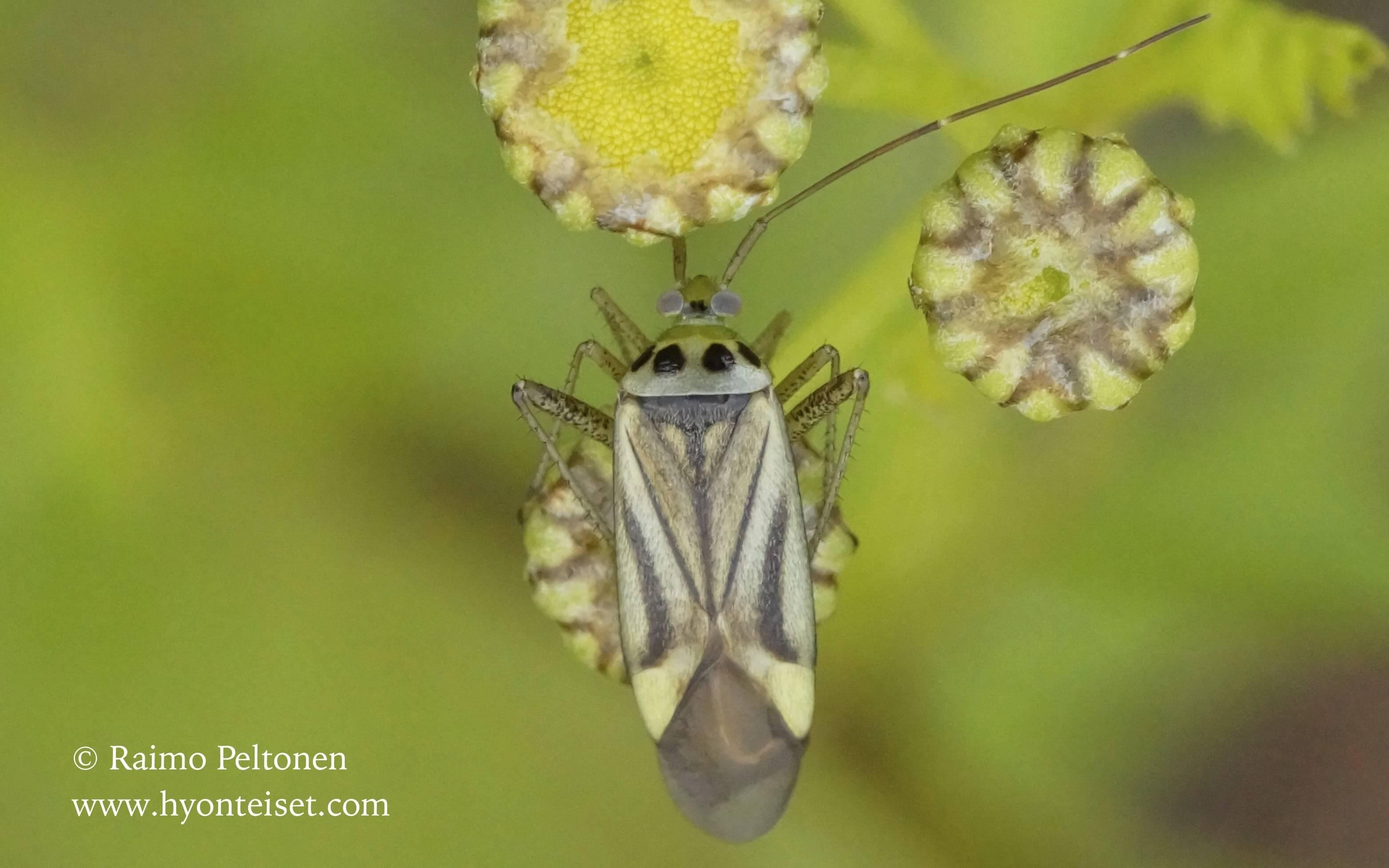 Adelphocoris quadripunctatus-nokkosviittalude