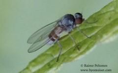 Agathomyia woodella 2