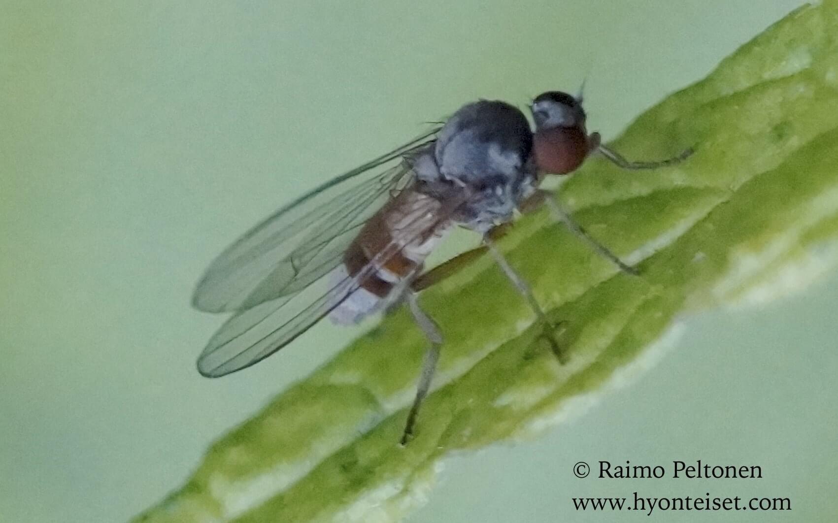 Agathomyia woodella, naaras (det. Dmitry Gavryushin)