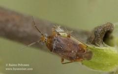 Agnocoris rubicundus 1