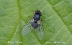 Agromyza sp. 1