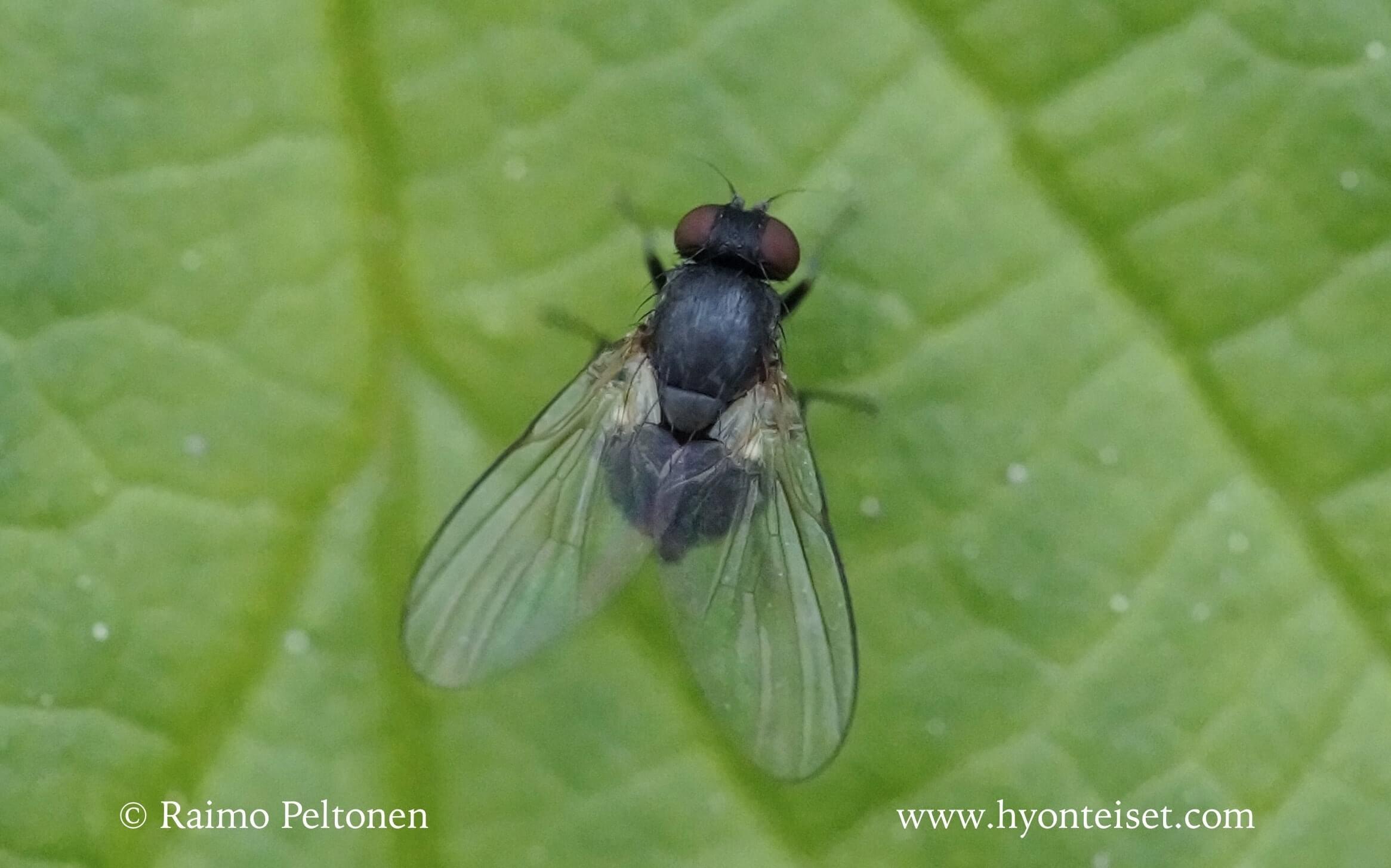 Agromyza sp. (det. Kaj Winqvist)