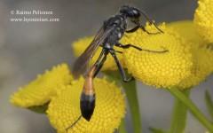 Ammophila sp.