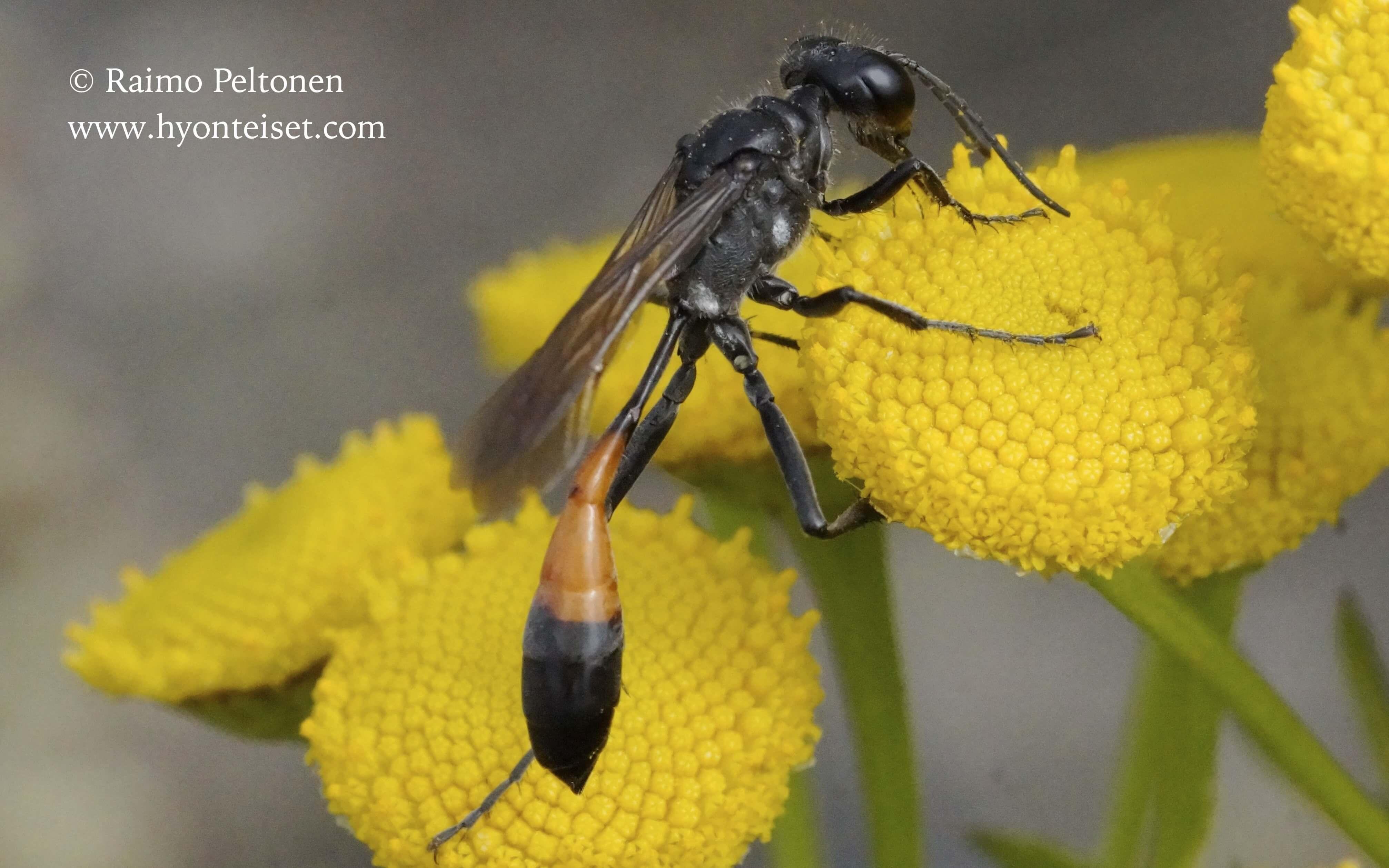 Ammophila sp. (det. Juho Paukkunen)