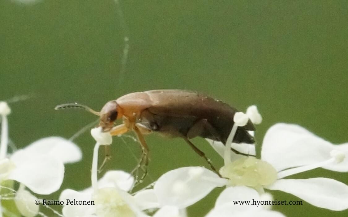 Anaspis thoracica-punaselkäsukkulainen