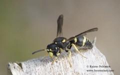 Ancistocerus trifasciatus 2