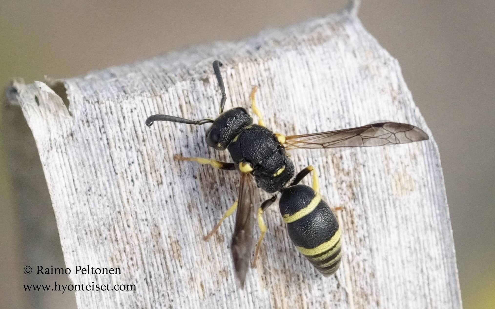 Ancistocerus trifasciatus (Apidae) MALLORCA