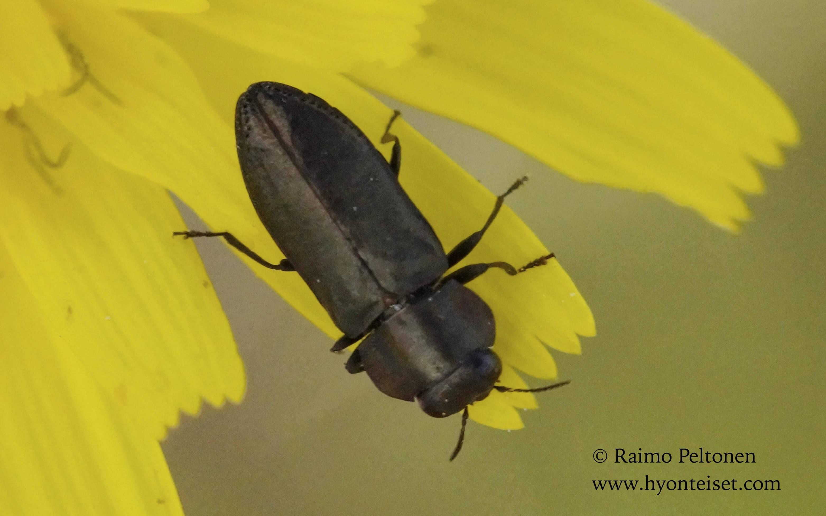 Anthaxia sp. (Buprestidae) MALLORCA