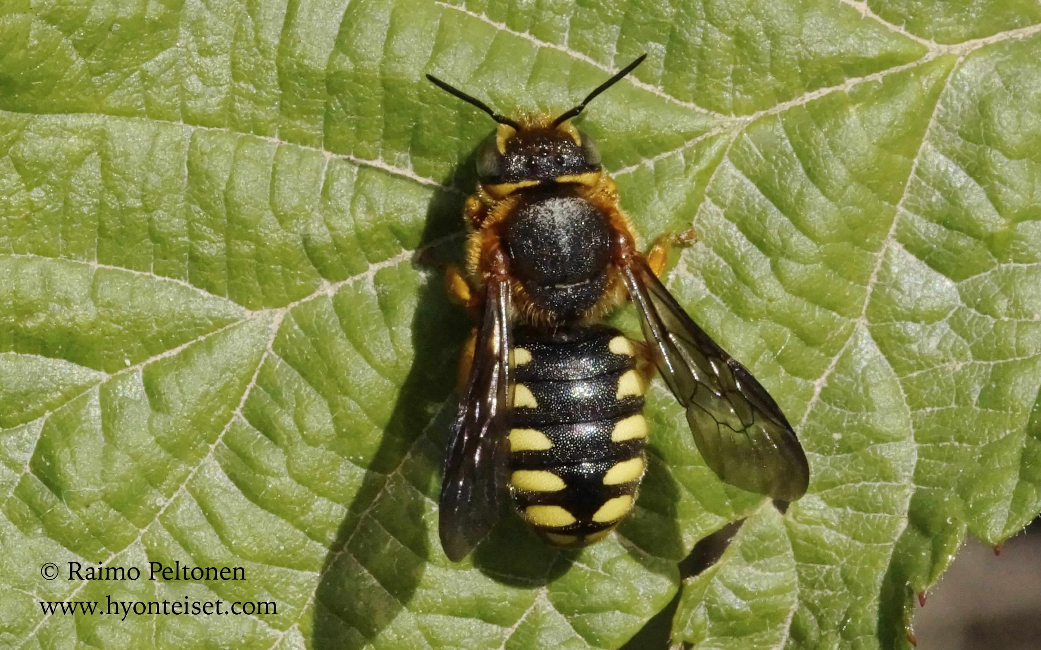 Anthidium sp. (Megachilidae) MALLORCA