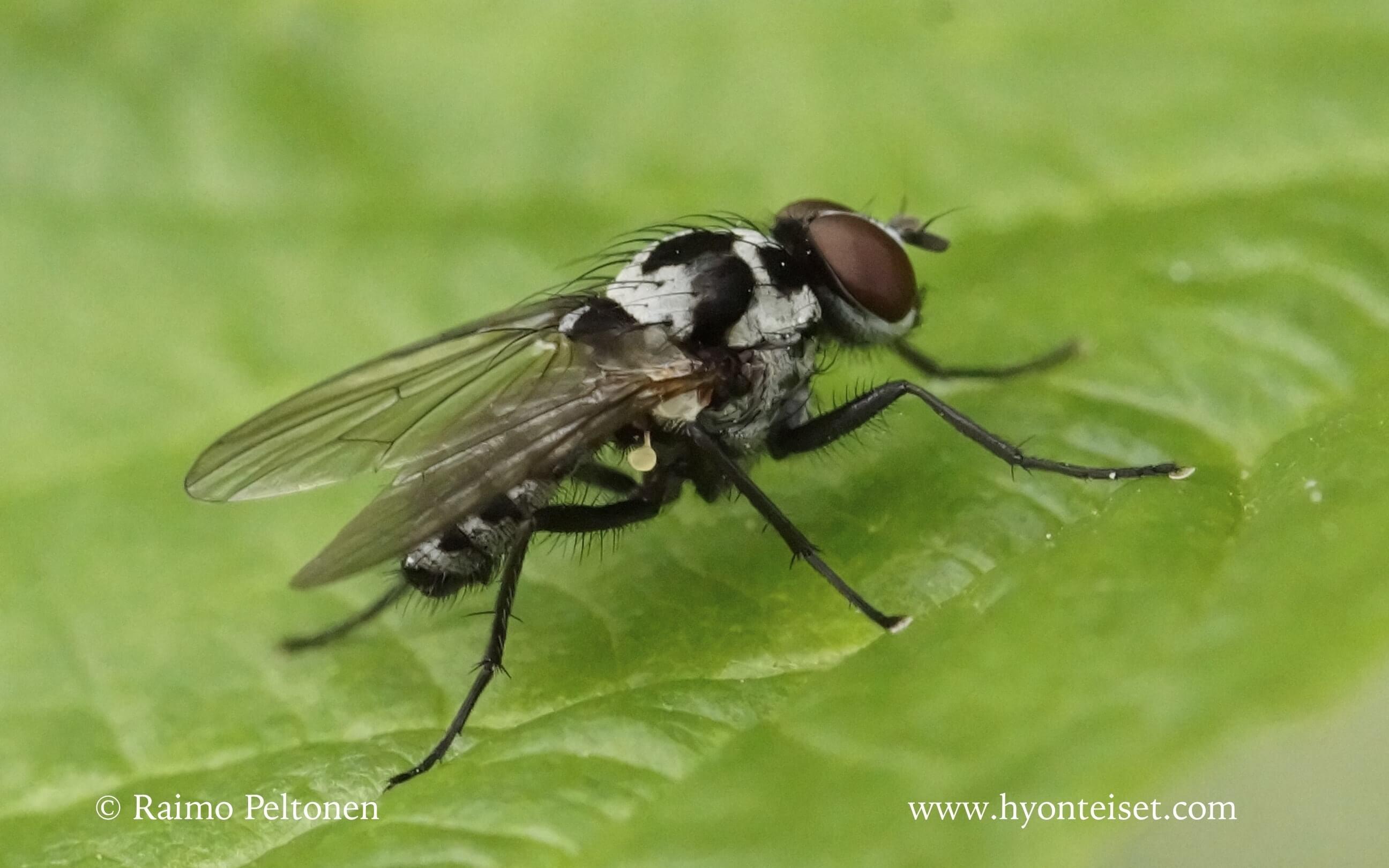 Anthymyia sp. (det. Kaj Winqvist)