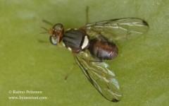 Bactrocera oleae
